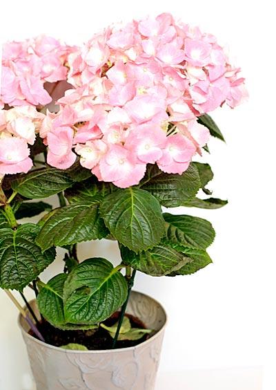 Katin Kukkanen - hortensia